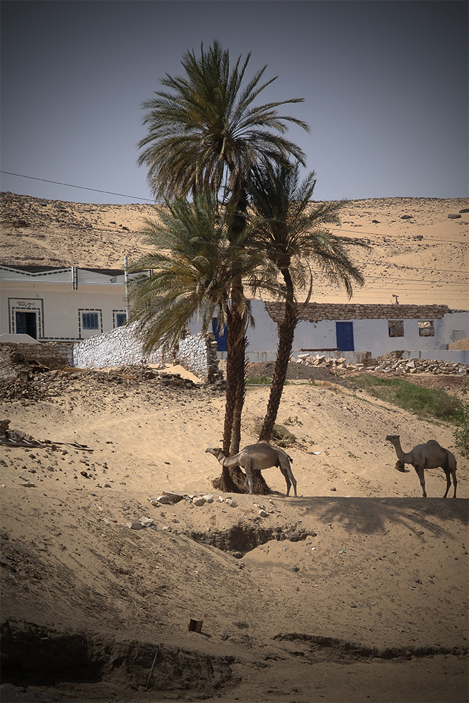 Camellos nubios